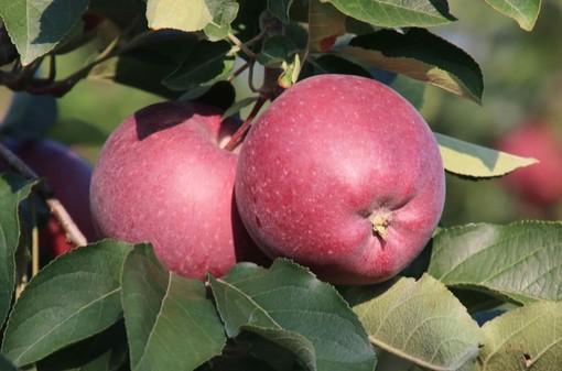 Al via la raccolta di mele in Piemonte, terzo produttore nazionale con 203mila tonnellate