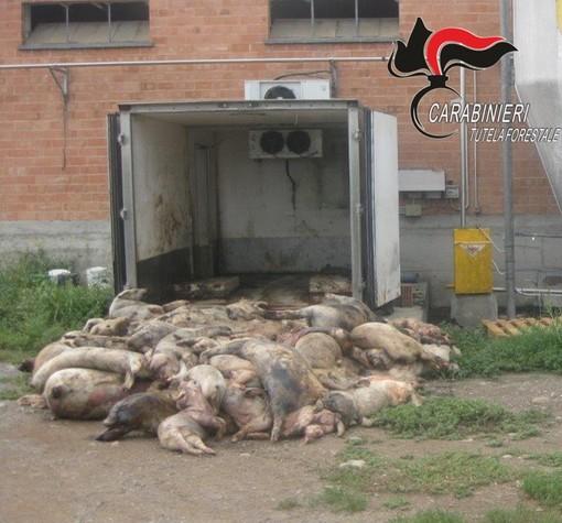 Le carcasse dei suini