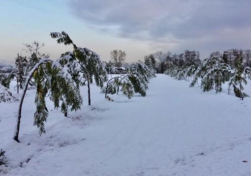 Danni da neve: castagneti e noccioleti in ginocchio in tutta la Granda