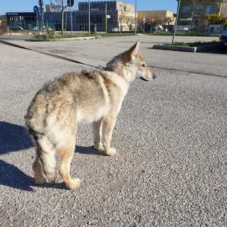 Peveragno: si cerca Elvis, cucciolo di lupo cecoslovacco scappato da frazione San Lorenzo