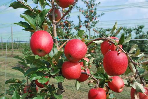 Frutto di melo Tessa, campo di sperimentazione varietale della Fondazione Agrion Manta (fonte Agrion)