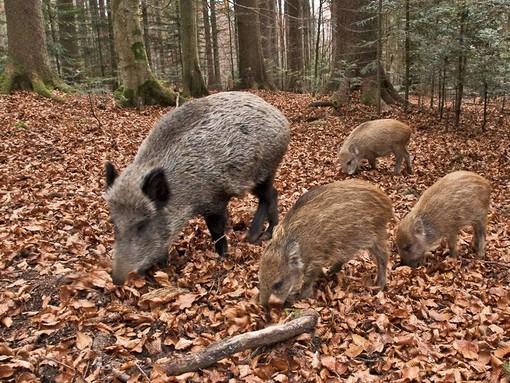 Fauna selvatica, Coldiretti Piemonte: escalation di incidenti, alcuni mortali