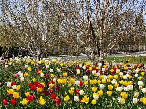 Alba: aiuole in fiore con gli oltre 3.000 bulbi donati da Messer Tulipano di Pralormo
