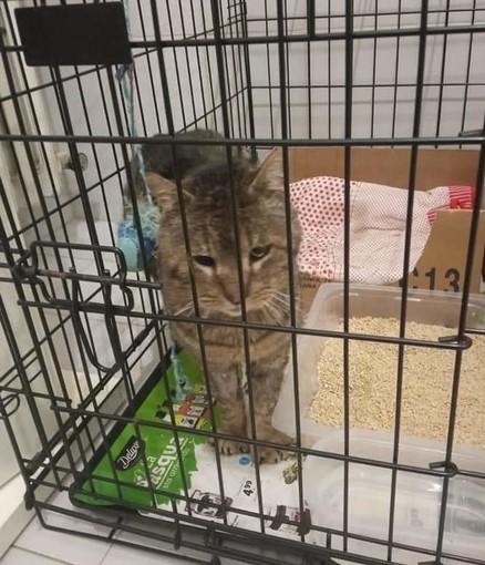 Il gatto Cucciolo segnalato dall'associazione Amici dei Mici