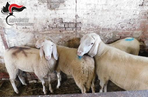 Macellavano ovini abusivamente: nei guai una cascina e un'azienda agricola del cuneese