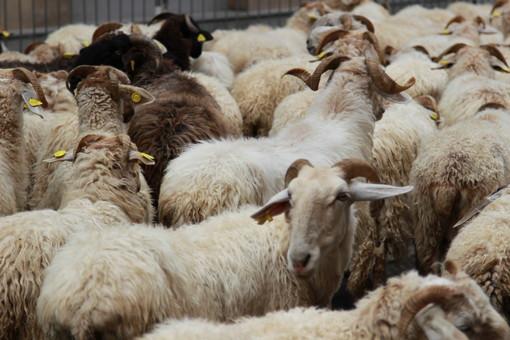 Amo la montagna e porto i miei cani al guinzaglio, ma il vero pericolo sono i cani dei pastori