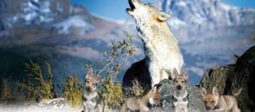 """""""Non sempre un bugia, ripetuta cento, mille, un milione di volte diventa verità: neppure sui lupi"""""""