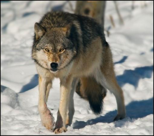 """Il lupo non è l'ultimo dei problemi e l'uomo non è un """"usurpatore e sfruttatore"""" della montagna"""