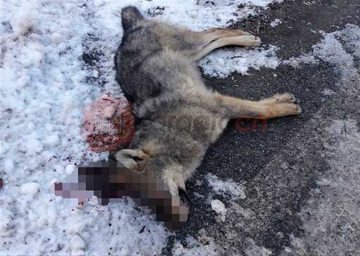 Il lupo maschio recuperato sabato sulla Provinciale per Crissolo