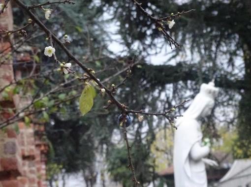 Bra: si ripete il miracolo dei fiori d'inverno al Santuario della Madonna dei Fiori (FOTO)