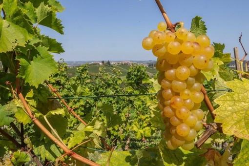 Asti Spumante e Moscato d'Asti: rese a 90 quintali per ettaro con 10 quintali/ettaro di riserva