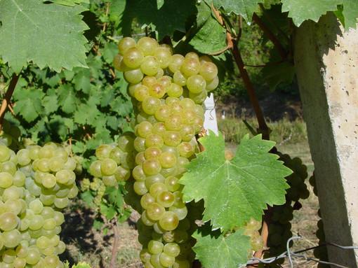 Il Piemonte si prepara alla vendemmia. Prime stime di Confagricoltura: produzione sana e abbondante, qualità elevata