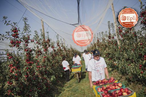 La raccolta della mela Eplì