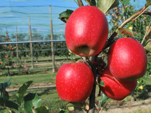 Tessa®: la nuova mela a disposizione della frutticoltura piemontese