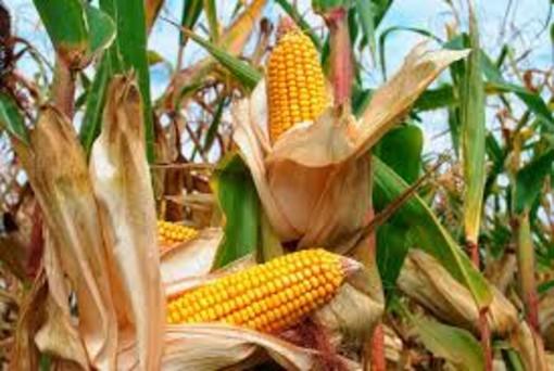 Cia Cuneo: crescono le importazioni di mais e calano le rese