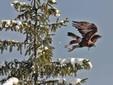 Un'aquila si alza in volo dall'abete vicino all'azienda