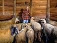 Nella stalla delle pecore
