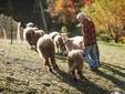 Con le pecore al pascolo nei prati