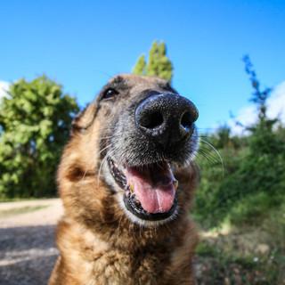 Il naso dei cani percepisce il covid