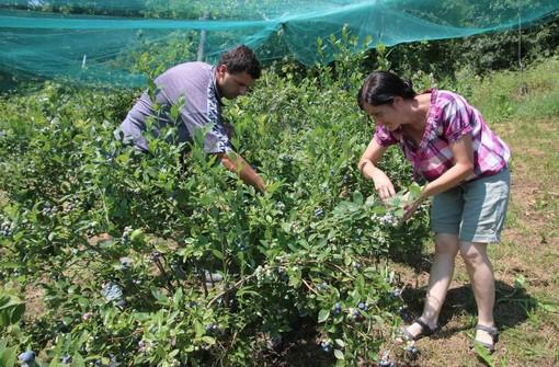 Due giovani imprenditori agricoli raccolgono mirtilli
