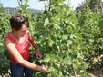 Nella coltivazione di fagioli