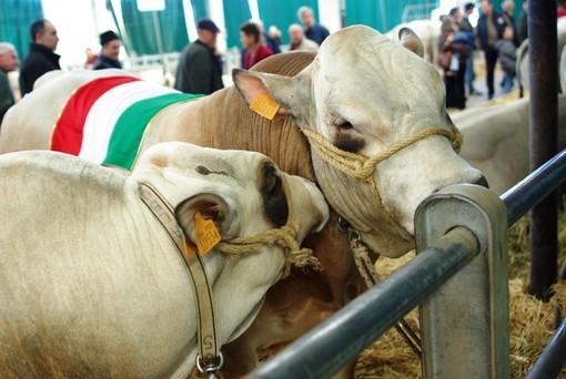 Fossano: CIA a convegno sul calo del mercato della carne di Razza Piemontese