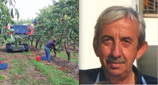 La raccolta della frutta e il presidente di Ebat-Favla Cuneo Giancarlo Bandiera