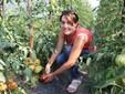 Nella serra di pomodori