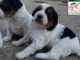 Due cuccioli di tre mesi sono in attesa della loro nuova famiglia