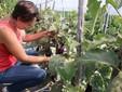 Nel campo di melanzane