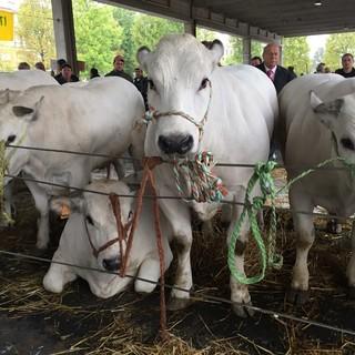 Grande rassegna di bovini piemontesi ad Alba