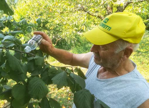 Cimice asiatica, Coldiretti Cuneo e le aziende agricole in prima linea per la lotta biologica