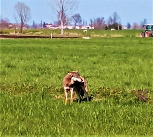 """I pastori e la presenza del lupo: """" La tutela della fauna non può sovrastare la tutela dell'uomo"""""""