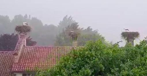 Le cicogne durante il nubifragio di ieri pomeriggio a Racconigi