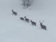 Spettacolo della natura in valle Pesio: cinque cervi in marcia sulla neve