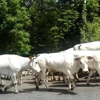 Mandria di mucche sale al pascolo nel Vallone Foresti, in Valle Maira (VIDEO)