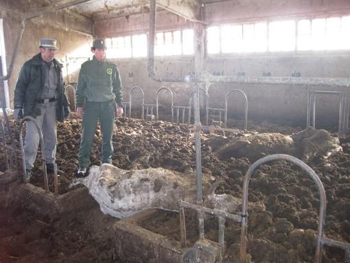 Le carcasse dei bovini ritrovate a Vignolo