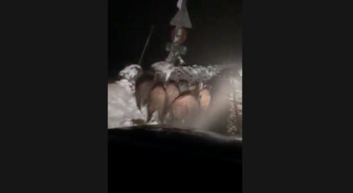 """""""In Alta Langa situazione cinghiali totalmente fuori controllo: chi di dovere intervenga"""" (VIDEO)"""