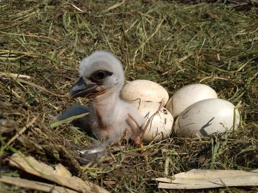E' nato il primo piccolo di cicogna dell'anno al CRAS di Racconigi