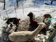 Amigo e Artù con le caprette Maggie e Filippo