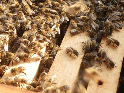 Da Aspromiele alcuni chiarimenti tecnici sulla moria di api scoperta a Farigliano dai Carabinieri Forestali
