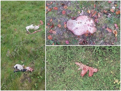 Tre capre sbranate in centro paese: attacco di lupi a San Giacomo di Roburent?