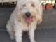Trovato cane senza collare a Costigliole Saluzzo