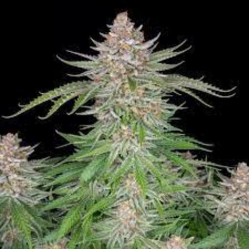 Stato legale della cannabis in Italia