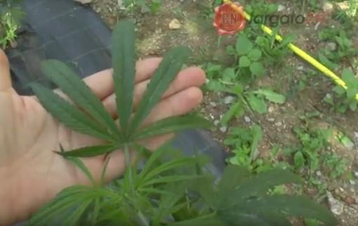 """La Cassazione si pronuncia sulla cannabis light e Mondovì revoca l'ordinanza: """"Ormai non serve più"""""""