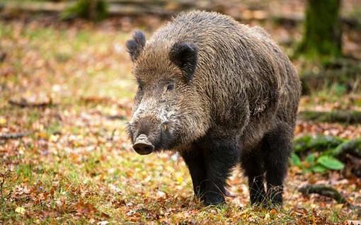 Controllo della fauna selvatica, Coldiretti Cuneo: buone notizie per l'agricoltura e la sicurezza pubblica