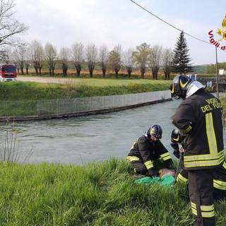 Capriolo caduto in un canale a Roddi. Recuperato dai vigili del fuoco
