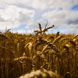 Grano Piemonte: iniziato il secondo anno di semine