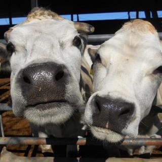 """Razza Piemontese, l'allarme dei produttori: """"Risultati drammatici per il 95% degli allevamenti"""""""