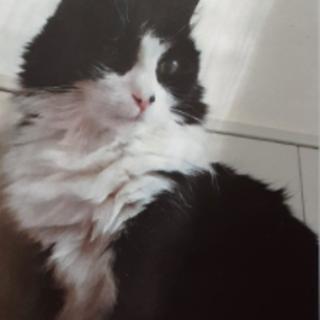 Smarrito gatto bianco e nero in frazione San Defendente a Cervasca